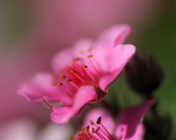 Soft pink color of this cinquefoil submerge into tones of tenderness.