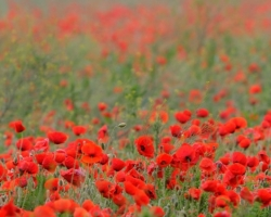 The fields covered with red colored common popies forvers glow from afar