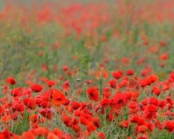 Červené polia vlčiích makov (divých makov) svietia z ďaleka