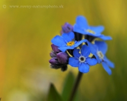 Forget-Me-Not knows almost everyone. That one from the Alps is with more intensive color of flowers.