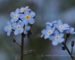 Nezábudka alpínska má drobné ale prekrásne kvietky kvietky. Rastlinka fotená v rakúskych Alpách.