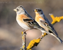 Brambling in the Malé Karpaty mountain in the march 2010