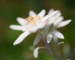 Plesnivec alpínsky /Leontopodium alpinum Cass./ sa pre nás stal asi symbolom hôr. Nájdeme ho prísne chránený aj v našich veľhorách. Táto snímka pochádza z Julských Álp.