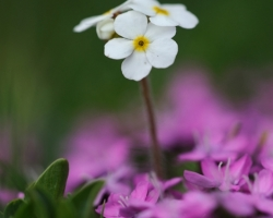 Barely a few inches high spreads this small plant its petals over the lila blossom of Moss Campion