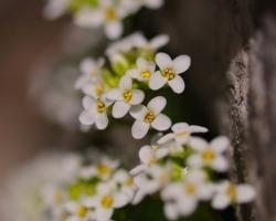Jemné sú drobné kvietky tejto rastlinky známej aj pod synonymom Hutchinsia alpina. Fotografia pochádza spod najvyššej hory Julských Álp - Triglavu.
