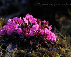Krásna vlhkomilná prvosienka z Himalájí rastúca na podmáčaných pôdach