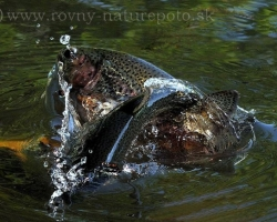 Image captures the temperament, the joy of movement of rainbow trout which effortlessly leaving your water element.