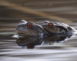 Warming after the winter like a magnet attract common toad with their desire of love to the water of lakes.