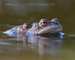 The spring is comming and it is time for common toad love.