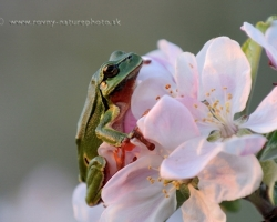 It's green, has a shrill voice, loves the trees ......... what is it? Yes this little singer with a voice as pure as water wells sitting in the tree and announcing to the world that the warm rain comming is tree frog.