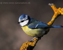 Blue Tit is beautirul bird. Photography captures stunning close-up color in the morning light.