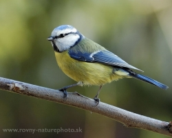 What would be the garden if not entertained throughout the year with the blue tit and great tit.