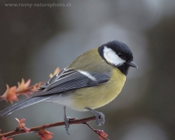 Great tit perhaps the most abundant host of our gardens