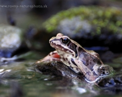 Sitting in the cool stream, and thinking about their frog dreams - common frog.