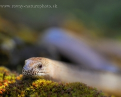Also slow worm need rest. Relax after a cold night on the soft moss.