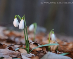 Carpathian forests has come alive in early spring with flovers of snowdrop.