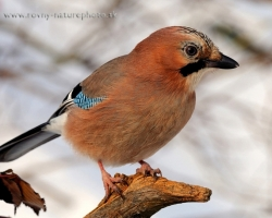 Eurasian jays comming in the winter close to the dwellings and it is easier to take a picture of them.