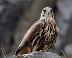 Magnificent predator, this time falconry lead bird.