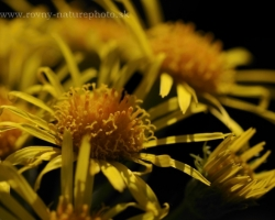 Flower photo shoot in the Alps. I can not determine it. This could be a species of Senecio