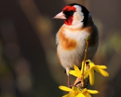 Goldfinch varied coloration is stunning. Is a small-sized ornament every garden in which it occurs. Cheerful melody gives it charm.