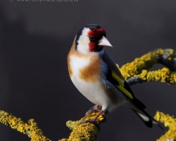 Goldfinch - color gem in any garden where this beautiful colored bird comming.