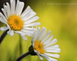 Daisy star of the Alps - name for this flower was not random. It combines the sweetness and purity.