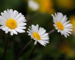 (Aster bellidiastum, syn Bellidiastrum michelii, Doronicum bellidiastrum) Daisy Star from Schneeberg Mountain