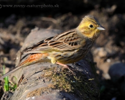 Yellowhammer is one of our year-round occurring species of birds. This flew near to tmy hiding at the edge of the Carpathian forest.