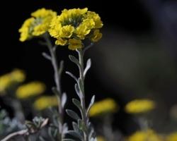 Vzácna krásna rastlina kamenistých teplých llokalít