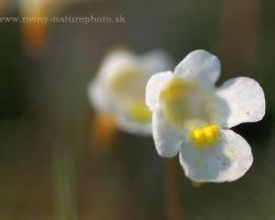 Drobná nenápadná rastlinka ktorá má v detaily nádherne tvarovaný kvietok.