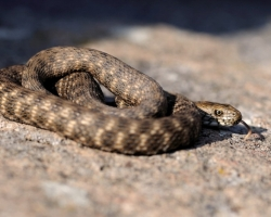 The water snake probably best suits may encounter on the banks of the River Morava.