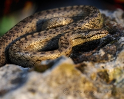 Smooth snake I had no many opportunities to shoot. Belong to our rare reptiles which occures on xerotherm habitats.
