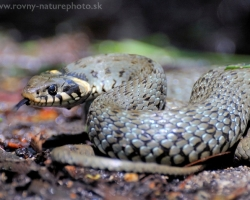 This large grass snake warning sizzle and intimidating camera with violent incursions.
