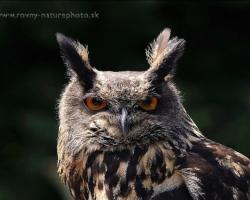 Picture of the falconry headed Eurasian Eagle-owl.