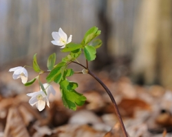 In the spring lurks delicate white anemones as one of the first spring flowers Small Carpathian beech forest.