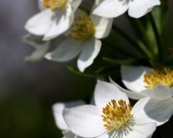 Nejedna nevesta by si chcela natrhať kyticu z týchto krásnych bielych kvietkov veternice narcisokvetej. Môže to však ostať len pri predstavách. Rastlínka je vzácna a chránená. Rastie vysoko v horách na alpínskych lúkach.