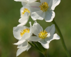 After snowmelt are slopes of Alpine meadow white of this tender white flowers. Photo comes from Schneeberg Mountain