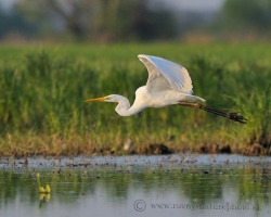 Graceful is flight of Great White Egret over the dead arms of the River Morava