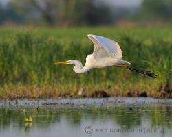 Ladný je let volaviek bielych /syn. Beluša veľká/, nad mrtvými ramenami rieky Moravy