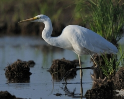 Carefully placed white egret legs into the water be invisible for its prey.