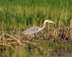 Prudently puts legs and beak ready to harpoon - the gray heron in search for food.