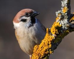 Also tree sparrow has its charm.