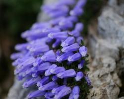 Tento drobný zaujímavý zvonček rastie v hustých trsoch zväčša na holých skalách, tak ako ho zachytáva fotografia. Takto ho je možné nájsť len v Julských Alpách.