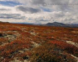 As on the chessboard are alternating in the tundra fields of red heather, blueberries and cranberries with a white patch of lichens.