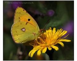 Jeden z hojnejších motýľov odfotený ako ochutnáva nektár kvietkov na lúke v Malých Karpatoch.