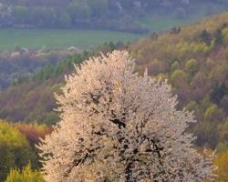 Rozkvitnutá čerešňa na zelej lúke predhoria Bielych Karpát, ako vznešený posol jari