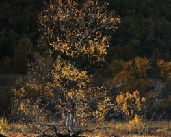 Golden autumn color of birch often highlighted in the early evening hours of low sun. The whole country is bathed in warm tones and autumn sunshine penetrating rays.