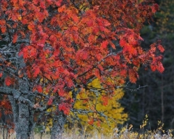 Sweden - waters and forests. Beautiful fiery autumn dress of rowan decorated with lichens magically attracts attention.