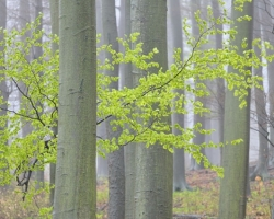 The first spring leaves in beech forest developed only shyly it´s beauty.