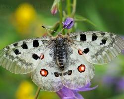 Fotografia zachyáva tohto krásneho motýľa na zakvitnutej lúke v Tyrolských Alpách.